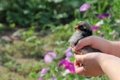 Kip in kinderen` s handen Het nieuwe leven Kleine vogel Royalty-vrije Stock Afbeelding