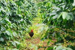 Kip in koffie organisch landbouwbedrijf op Bolaven-Plateau royalty-vrije stock fotografie
