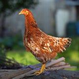 Kip in landbouwbedrijf Royalty-vrije Stock Foto's