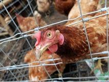 Kip in lokaal landbouwbedrijf Stock Foto's