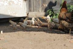 Kip met kippen die in landbouwbedrijf` s werf lopen royalty-vrije stock foto's