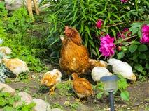Kip met kippen die voedsel onder het gras in de yard zoeken royalty-vrije stock afbeeldingen