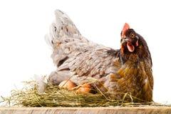 Kip in nest met eieren op wit worden geïsoleerd dat Stock Foto's