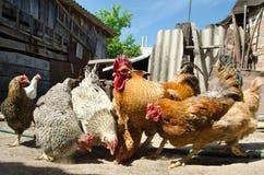 Kip op een landbouwbedrijf Stock Afbeelding