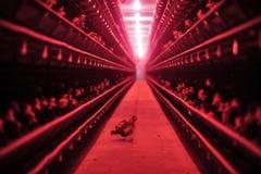 Kip op een landbouwbedrijf Stock Foto's