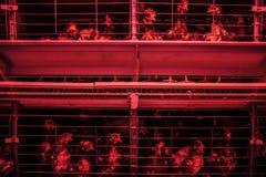 Kip op een landbouwbedrijf Stock Afbeeldingen
