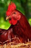 Kip op nest Stock Foto's