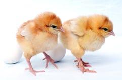 Kip twee dichtbij twee eieren Royalty-vrije Stock Foto