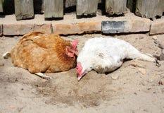 Kip twee die een zandbad nemen Stock Foto