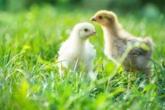 Kip twee in het gras stock afbeelding