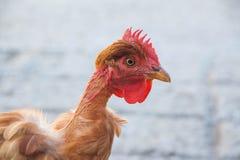 kip zonder veren stock fotografie