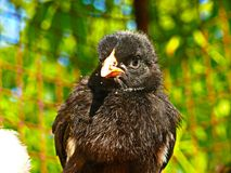 Kip - zwarte gallus F van Gallus van kuikengallus binnenlandse domestica Stock Foto