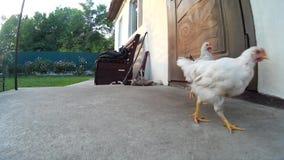 Kippen bij de deur op een portiek van een huis De Oekraïne, Podillya, Khmelnytskyi stock video