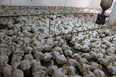 Kippen bij het industriële gevogeltelandbouwbedrijf, Stock Afbeeldingen