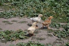 Kippen bij het landbouwbedrijf Stock Foto