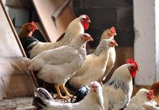 Kippen in de kippenren Stock Foto's