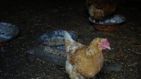 Kippen in de kippenren in het dorp stock videobeelden