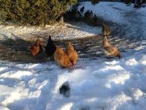 Kippen in de sneeuw stock afbeeldingen
