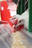 Kippen dichtbij een het voeden trog Stock Foto's