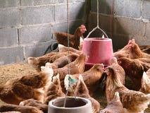 Kippen die in een landbouwbedrijf eten royalty-vrije stock fotografie