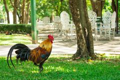Kippen die in het park lopen Natuurlijke achtergrond stock foto's