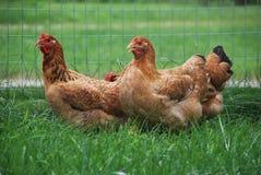 Kippen door Omheining stock fotografie
