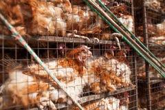 Kippen in een kooi Stock Afbeeldingen
