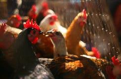 Kippen in een kooi bij de markt Stock Afbeelding