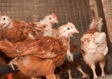 Kippen in een kooi bij het gevogeltelandbouwbedrijf Stock Fotografie