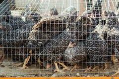 Kippen in een kooi Vogel` s landbouwbedrijf stock fotografie