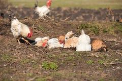 Kippen een stofbad nemen en een gelopen haan die Royalty-vrije Stock Afbeelding