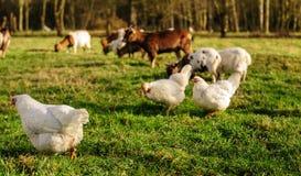 Kippen en Geiten op een Gebied stock foto