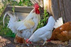 Kippen en haan 2 Royalty-vrije Stock Afbeeldingen