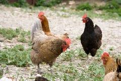 Kippen en haan Stock Afbeeldingen