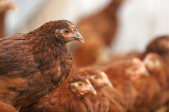 Kippen en haan Stock Afbeelding