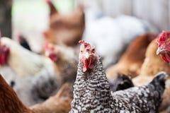 Kippen en haan stock foto