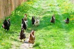 Kippen en haan Royalty-vrije Stock Afbeeldingen