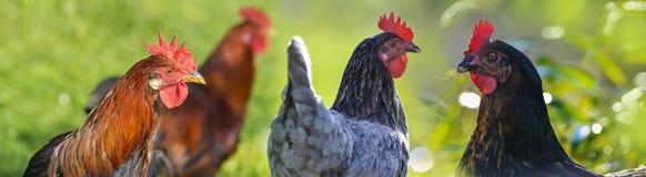 Kippen en haan Royalty-vrije Stock Fotografie