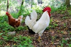 Kippen en Haan in de Weide Stock Foto's