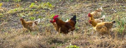 Kippen en haan die naar voedsel zoeken Royalty-vrije Stock Foto's