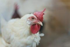 Kippen en hanen stock afbeeldingen