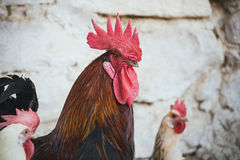 Kippen en hanen Stock Afbeelding
