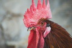 Kippen en hanen Royalty-vrije Stock Foto's