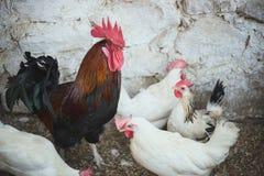 Kippen en hanen Royalty-vrije Stock Afbeelding