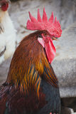Kippen en hanen Stock Foto