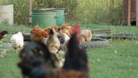 Kippen en hanen stock footage