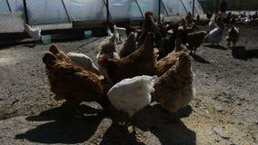 Kippen en hanen het eten stock videobeelden
