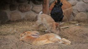 Kippen en konijnen in een kippenren stock video