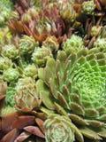Kippen en Kuikens Succulente Installaties royalty-vrije stock fotografie