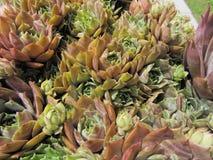 Kippen en Kuikens Succulente Installaties stock afbeelding